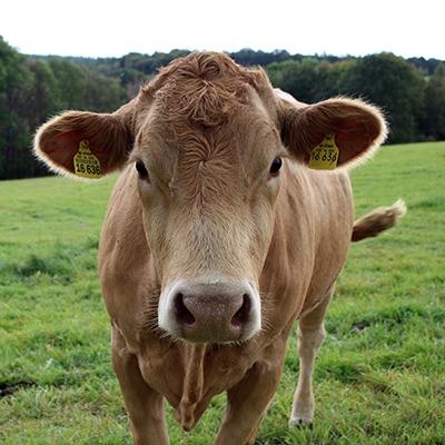 Fleischrindproduktion bei der Methauer AGRO-AG