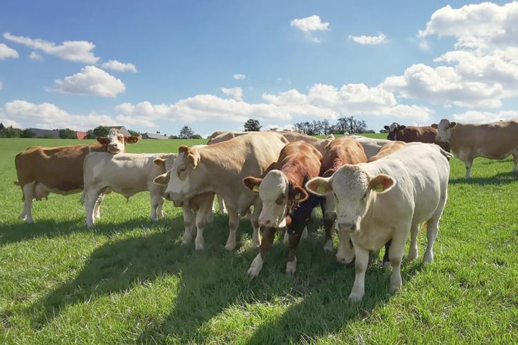 Kühe auf der Weide - AGRO-Fleischrind GmbH