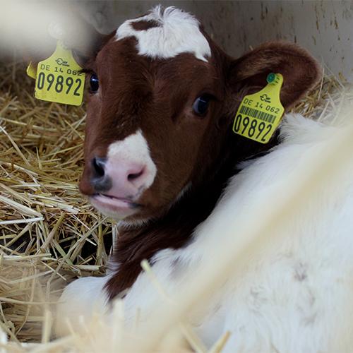 Milchkuhhaltung als Geschäftszweig der Methauer AGRO-Agrarprodukte GmbH