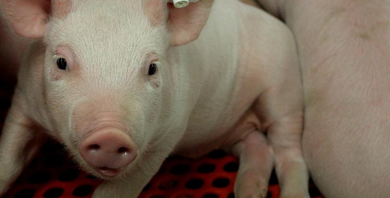 Schweinhaltung bei der Methauer AGRO-Agrarprodukte GmbH