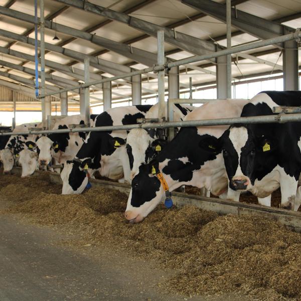 Milchkuhhaltung